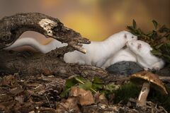 Free Two White European Minks Or Nerts From A Fur Farm In An Autumn Forest Landscape Stock Photo - 197471100