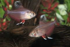 Two White Finned Rosy Tetras Royalty Free Stock Photography