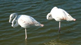 Two white flamingos in the water, a flamingo is a beautiful wading bird that lives in many parts of the world, including. Millions in Africa and the Caribbean stock video footage