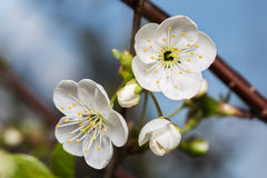 Two white flower and buds of cherry Royalty Free Stock Photo