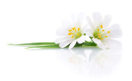 Two white flowers. Stock Photography