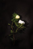 Two white flowers. On a black background Royalty Free Stock Images