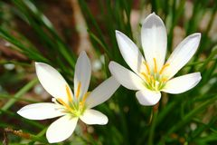 Two white flowers in bloom Royalty Free Stock Photos