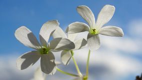 Two white flowers on blue sky. Sunny and vivid. Two white flowers on blue sky stock footage