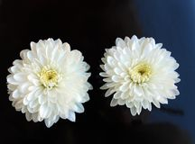 Two White flowers close up daisy gerbera stock photography