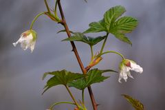 Two white flowers. This two white flower is red raspberry' flowers royalty free stock images