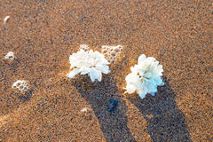 Two white flowers in the water on the beach Royalty Free Stock Photos