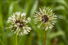 Two white fluffy dandelions on natural floral background. Stock Photo