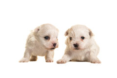 Two white four weeks old boomer puppies lying and standing royalty free stock photography