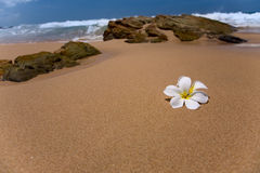 Two white frangipani (plumeria) spa flowers on rough stones Royalty Free Stock Photography