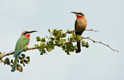 Two white fronted bee-eaters on a branch Stock Photography