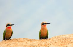 Two White-Fronted Bee-Eaters perched on the edge of a sandbank in south luangwa Stock Photos