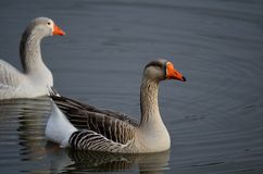 Two White Fronted Geese on a Pond Royalty Free Stock Photo