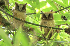 Two White-fronted Scops Owls stick together on the bamboo tree Royalty Free Stock Images