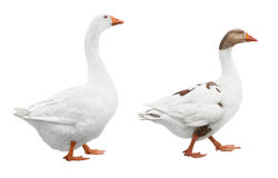 Two White Geese Royalty Free Stock Images
