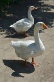 Two white geese Royalty Free Stock Photos