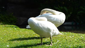 Two white geese cleaning feathers stock video footage