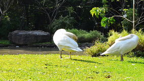 Two white geese  cleaning feathers Royalty Free Stock Image