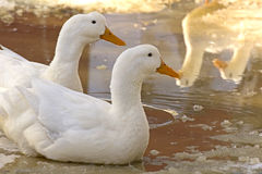 Two White Geese In Golden Light With Reflections Stock Photo