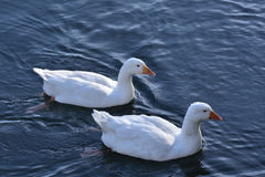 Two white geese Stock Photography