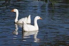 Two white geese swimming Stock Photos