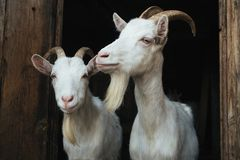 Two white goat in the doorway Stock Image