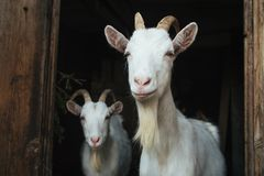 Two white goat in the doorway stock photography