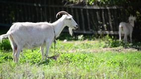 Two white goat in front of a fence in village stock footage
