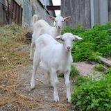 Two white goat Stock Images