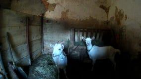 Two white goatling in the old village barn. Ukraine, Podillya, Khmelnytskyi stock video footage