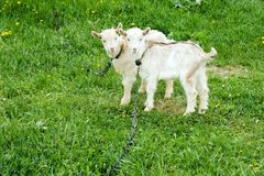 Two white goatlings. Standing on pasture with green grass Royalty Free Stock Images