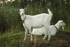 Two white goats Stock Photos