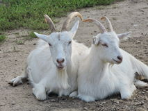 Two white goats Stock Photo