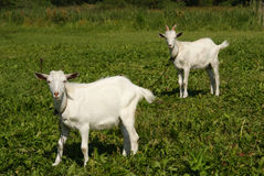 Two white goats grazing on green grass Royalty Free Stock Photography