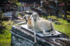 Two white goats Stock Photo