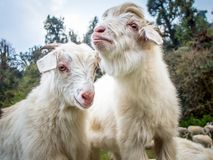 Two white goats with wild forest on the background. Royalty Free Stock Photo