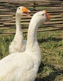 Two white goose Royalty Free Stock Photos