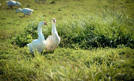 Two white goose in the grass. Two graceful white goose standing next to each other in the green grass on the meadow Stock Image