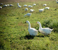 Two white goose in the grass. Two graceful white goose standing next to each other in the green grass on the meadow Royalty Free Stock Image