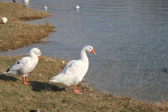 Two white goose. On the lake stock photography