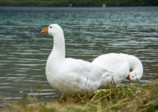Two white goose on the shore of the pond. On the waterfront are two white goose royalty free stock image