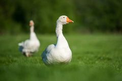 White goose on green grass. Two white goose on spring green grass stock images
