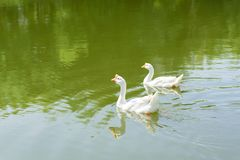 White goose swimming in the river. Two white goose swimming together in the river royalty free stock images
