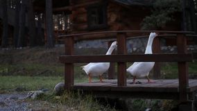 Two white goose are walking along a wooden bridge. slow motion, 1920x1080, full hd. Two white goose are walking along a wooden bridge stock footage