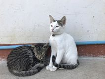 Two white and gray cats Royalty Free Stock Photo
