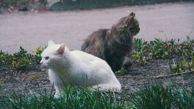 Two White and Gray Homeless Cats on the Street in the Park. Slow Motion. In 96 fps. Two Stray gray, and white cats sitting on the ground in the City Street stock video footage