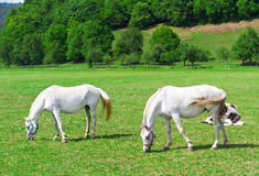 Two white grazing horses on green. Meadow Royalty Free Stock Photo