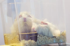 Two white guinea pig inside glass cube cage in pet shop Stock Photos