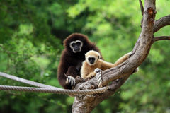 Two white handed Gibbon Royalty Free Stock Photography