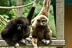 Two White-Handed Gibbons. Two Gibbons hanging out in the zoo Stock Photos